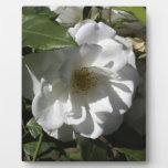 White rose with shadow of leaves falling on it plaques