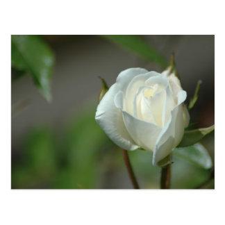 White Rosebud Postcard