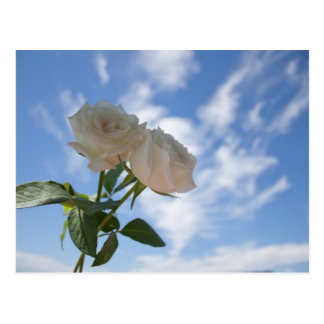 White Roses against Blue Sky Postcard