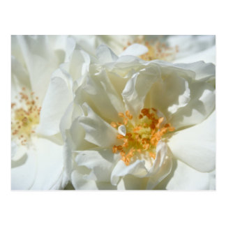 White roses and sun postcard