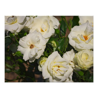 White Roses in Bloom - Flower photography Poster