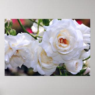 White Roses Nature Poster