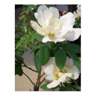"""White Roses Smiling in the Sun""  CricketDiane Art Postcard"