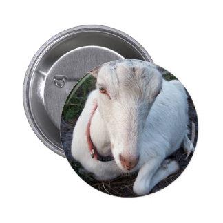 White Saanen dairy goat doe lying down relaxing Pinback Button