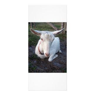 White Saanen dairy goat doe lying down relaxing Rack Card