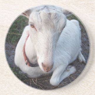 White Saanen dairy goat doe lying down relaxing Sandstone Coaster