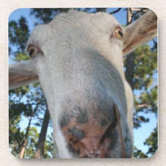 White saanen dairy goat doe nose close up HI Beverage Coaster