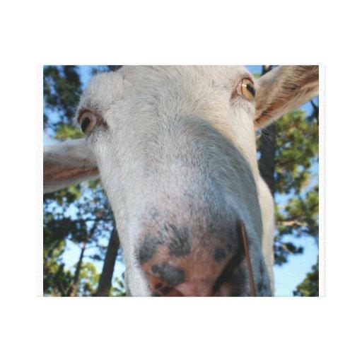 White saanen dairy goat doe nose close up HI Canvas Prints