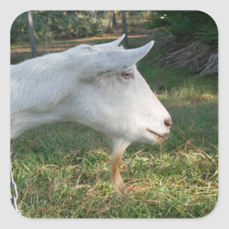 white saanen goat doe against green square stickers