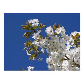 White Sakura Blossoms Postcard