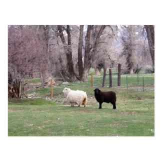 White Sheep Brown Sheep Postcard