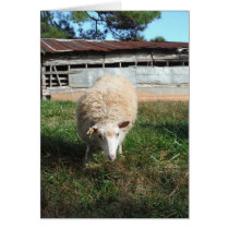 White Sheep on the Farm Card