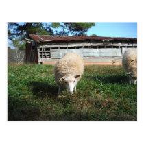 White Sheep on the Farm Postcard