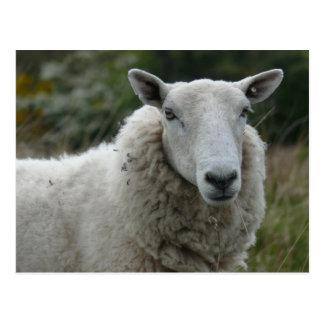 White Sheep Postcards