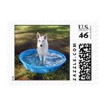 White Shepherd in  swimming pool Postage