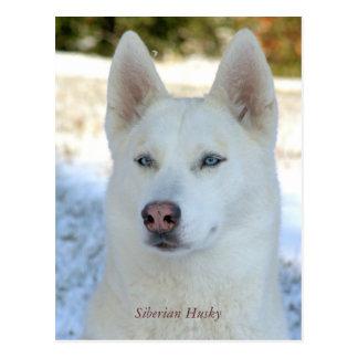 White Siberian Husky postcard