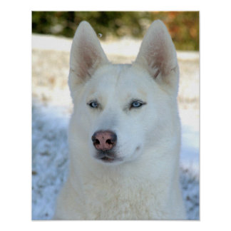 White Siberian Husky poster