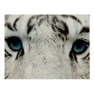 White Siberian Tiger Postcard
