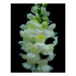 White Snapdragon Posters