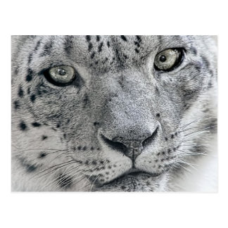 White Snow Leopard Nature Photograph Postcard