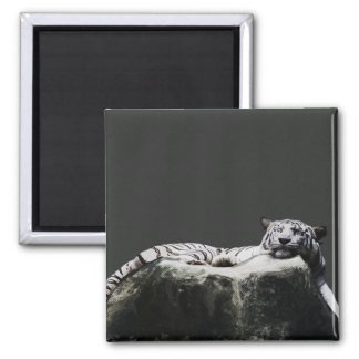 White snow Tiger - Big Cat sleeping Magnets
