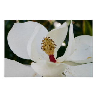 White Southern Magnolia flower blossom up close Poster