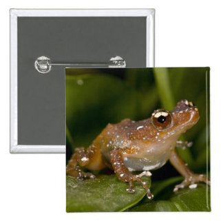 White Spotted Frog, Nytixalus pictus, Native Button