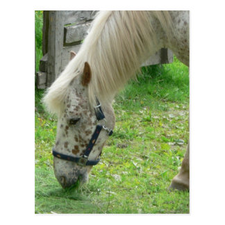 White Spotted Horse Postcards