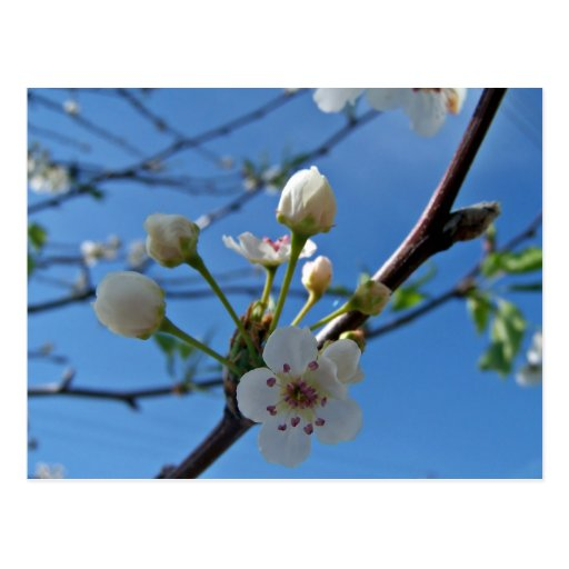 White Spring blossoms on show Postcard