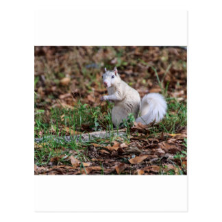 White Squirrel of Brevard Postcard