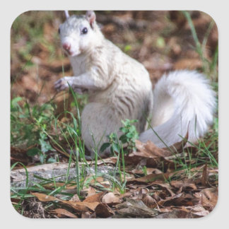 White Squirrel of Brevard Square Sticker