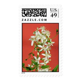 white Star jasmine (Jasminum pubescens) flowers Postage