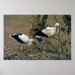 White Stork Print