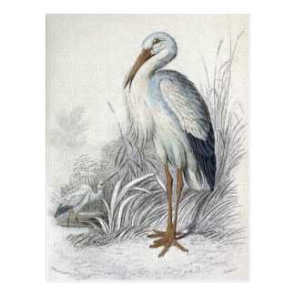 White Stork Vintage Bird Illustration Postcard