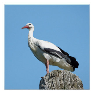 White Stork with blue sky Poster