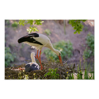 White storks on its nest poster