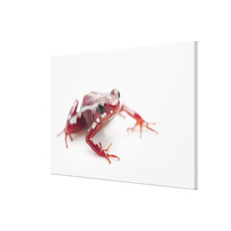White-striped Poison Dart Frog 2 Stretched Canvas Prints