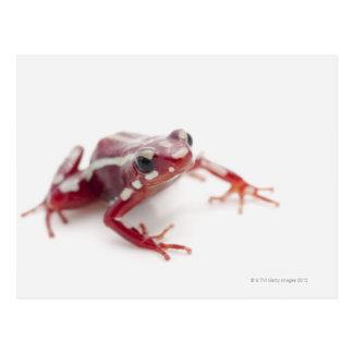 White-striped Poison Dart Frog 2 Postcard