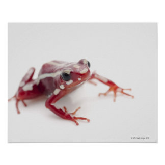 White-striped Poison Dart Frog 2 Poster