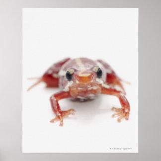 white-striped poison dart frog (epipedobates poster