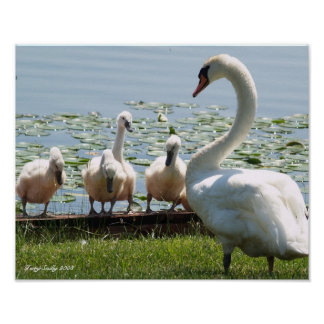 White Swan and Babies Poster