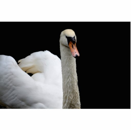 white swan head up bird image photo sculpture