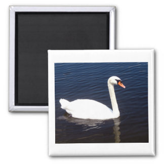 White swan on still waters magnet