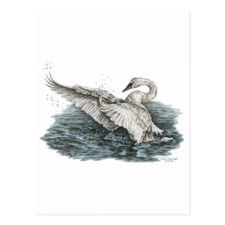 White Swan on Water Postcard