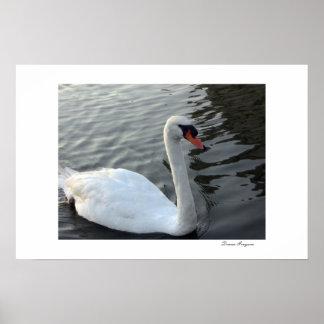 White Swan Poster Print