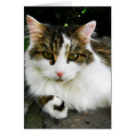 White Tabby Note Card