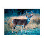 White Tail Deer Post Card