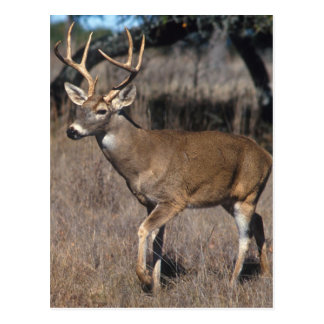 White Tail Deer Postcard