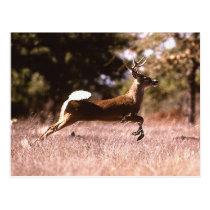 White-Tail Deer Running Postcard