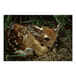 White Tail Fawn Deer Poster